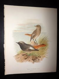 Butler, Frohawk & Gronvold 1908 Antique Bird Print. Black Redstart 12